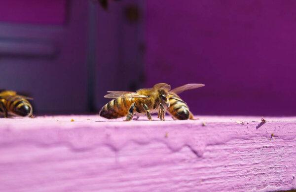 macro ape